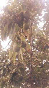 Avocado, Avocadobaum