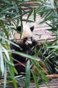 Panda, Chengdu, Asien, Weltreise, reise, bericht