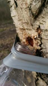 Birkenwasser, zapfen, natur, birke, anwendungen, rezept, gesund